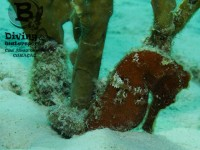 b_diving_&_watersports_cas_abao_beach_curacao_seahorse_IMG_7344