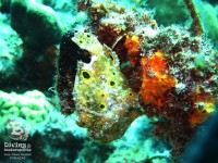 b_diving_cas_abao_beach_curacao_frogfish_IMG_8391
